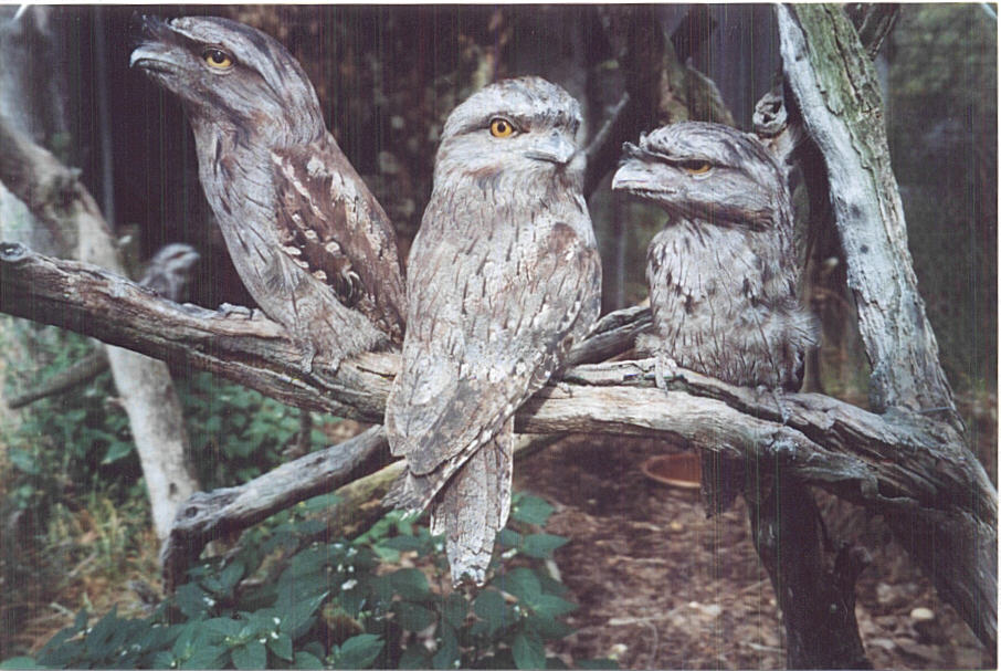 tawny frogmouth classification report The bermuda aquarium, museum and zoo is now playing host to two new inhabitants, a pair of tawny frogmouth chicks born approximately one month ago to parents kermit and duane, inhabitants of the.