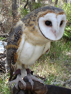 Leo the Western Masked Owl