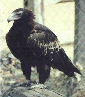 Charlie the Wedge Tailed Eagle at Eagles Heritage